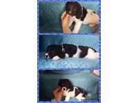 Sprollie puppies