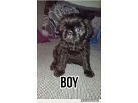 Pug cross toy poodle