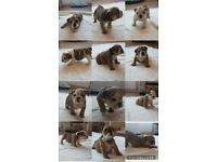 Quality Chunky English Bulldog puppies for sale