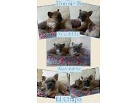 2 blue fawn carrying cream and 1 black and tan pied boy french bulldog boys ready for new homes now