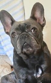 Beautiful healthy 2yr blue French Bulldog girl