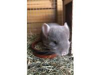 Baby Tan chinchilla