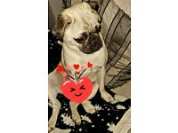 14 month old boy pug looking new forever home..