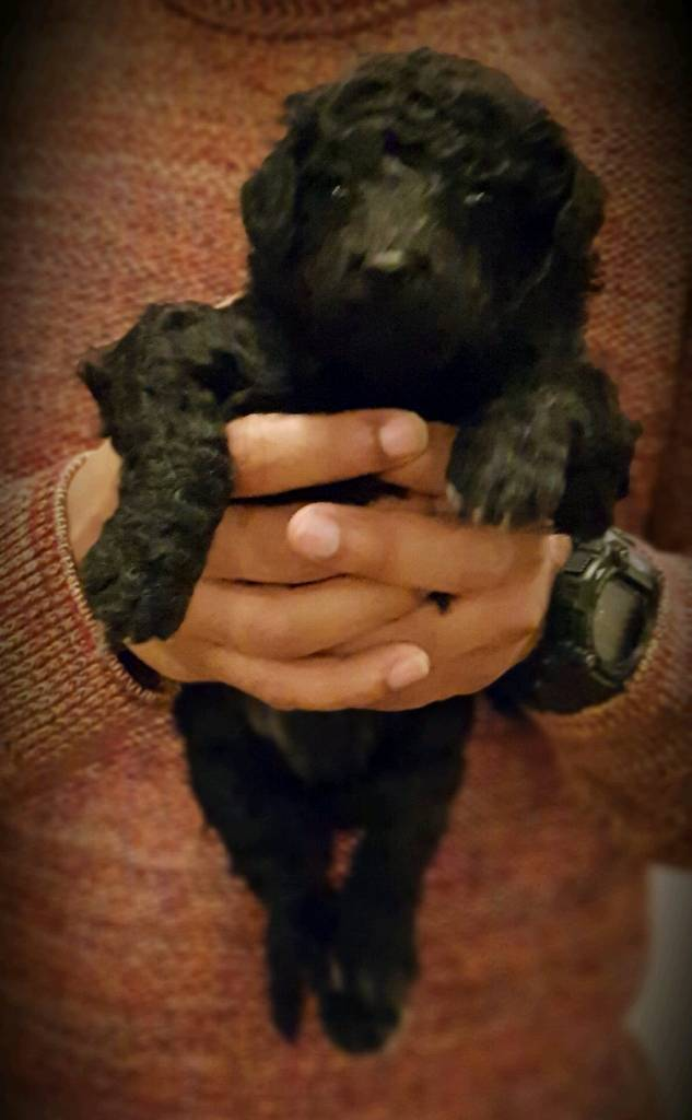 Standard Poodle Puppies for sale | in Sunbury-on-Thames, Surrey | Gumtree