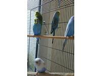 Beautiful Young budgies for sale!!!