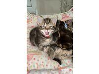 Stunning Bengal BSH Kitten