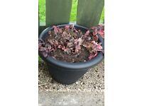 large pots and small pots of AJUGA PLANTS...