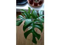 Houseplants - Indoor plants - Monstera Minima cutting