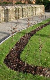 3 -4 foot hornbeam trees hedge 11 available