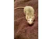 Beautiful rats (FREE)