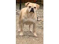 Bulldog x pug (bull pug)