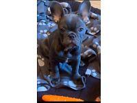 French Bulldog Blue female kc puppy ready now