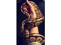 Royal Ball Python For Sale + Full Viv Set Up