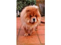 Chow Chow male