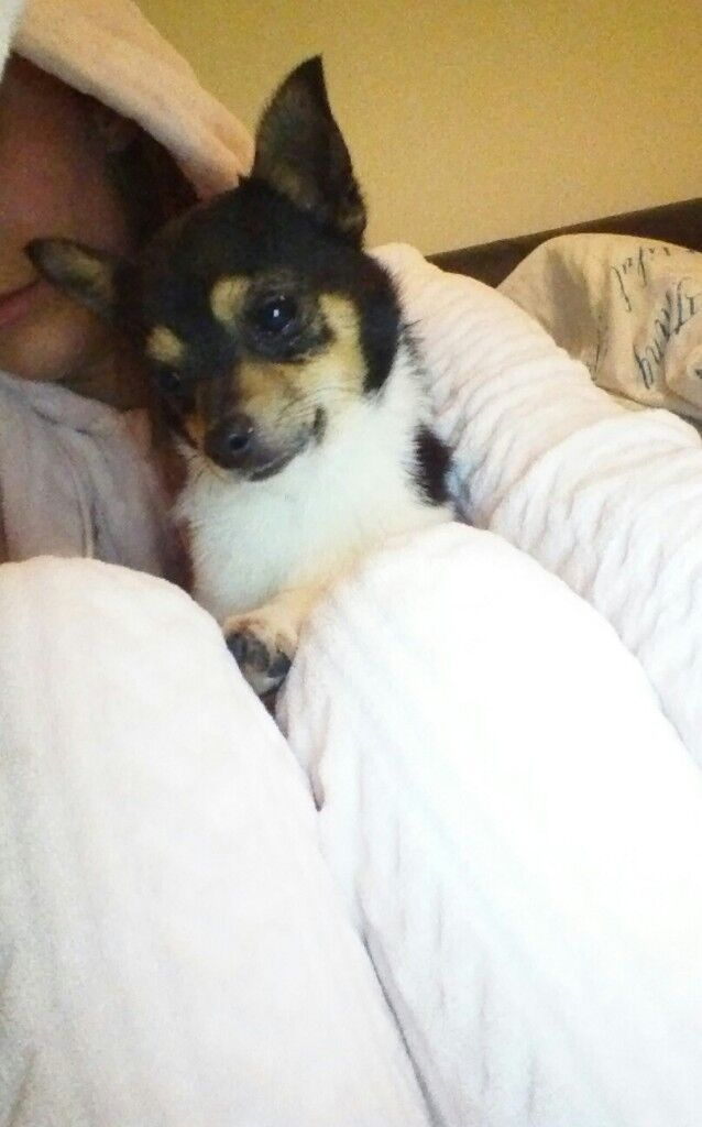 Adorable Chihuahua x puppy for sale