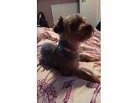 1 year old yorkie for a new home