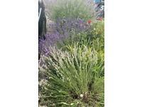 Lavender (FREE)