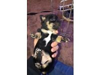 Three beautiful Jack Russell puppies Ready to leave