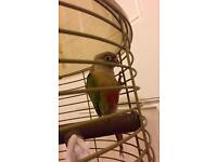 Pineapple Greencheek conure parrot for sale