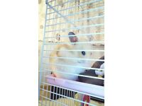 Male Syrian Hamster & Cage