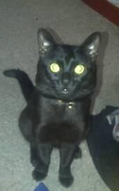 Nero. Lost cat