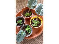 Houseplants - Indoor plants - baby African violets - pink - purple