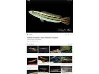 Redline snake head fish 6 inch