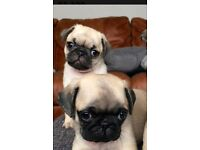 Full bred fawn pug puppies.