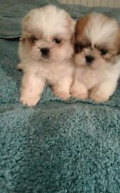 Outstanding litter of miniature shihtzu pups for sale