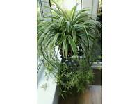 Very large Healthy Spider Plant with dozens of cuttings!