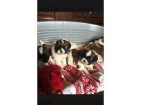 2 beautiful miniature shihtzu pups.