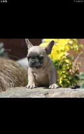 Kc frenchbull dog male puppy