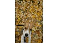 beagle 1 yr old