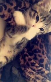 Bengal female Kitten