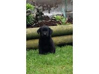 2 Beautiful black male Labrador puppies left out of a litter of 6.