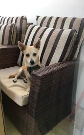 Jackawawa puppy looking for a forever home