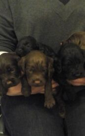 Beautiful Cockapoo puppies, kc registered parents
