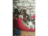 chihuahua puppys (blues)