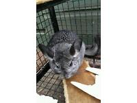 Chincilla with cage and plenty of food