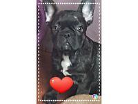 French bulldog puppies different prices please read description