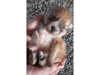 Pomeranian puppies 2 girls 1 boy