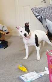 white and black female staffordshire bull terrier for sale