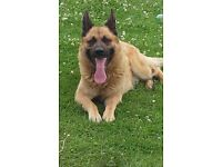 LOVING BIG SOFTY NEEDS A LOVING HOME BELGIUM X GERMAN SHEPHARD
