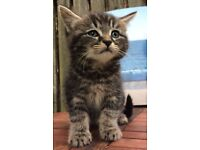 3 Gorgeous Tabby Kittens: semi fluffy male and short haired male & female