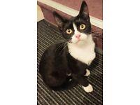 Gorgeous black and white female kitten