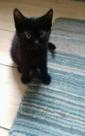 Female black kitten