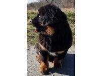 Tibetan Mastiff girl for sale