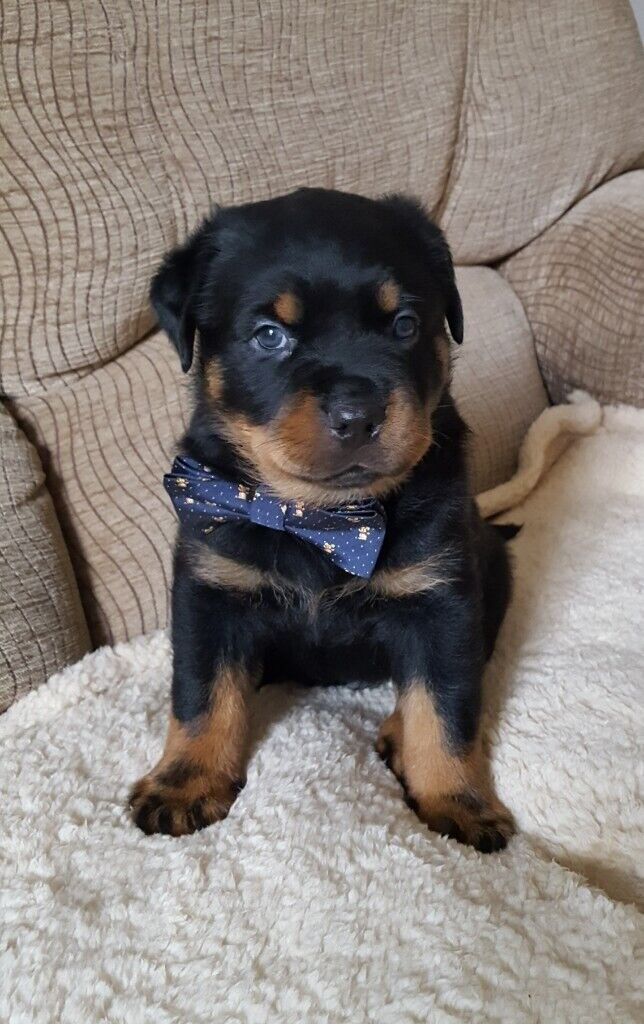 4 beautiful rottweiler puppies for sale | in Grimsby, Lincolnshire | Gumtree