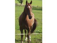 Lovely gelding for sale