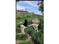 Ikc pedigree Labrador retriever